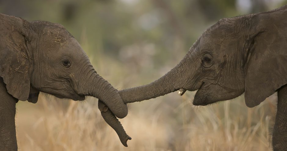 elephantscropped